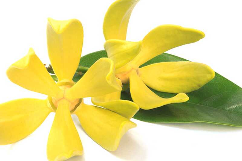 10 čudovitih prednosti eteričnega olja ylang ylanga